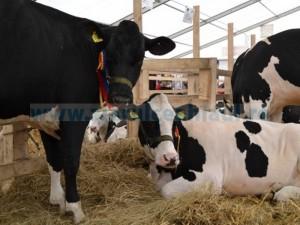 Tina-Ameliorare-foto-Vaci-bălţate