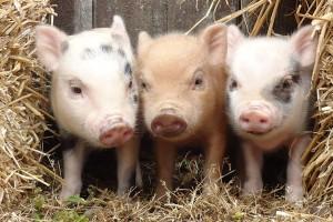 poze-cu-porci-mici