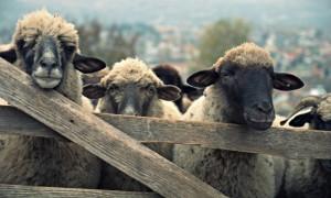 cu-oile-la-stana-Medium