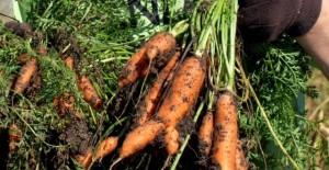 bolile-morcovului-640x330