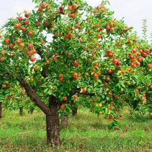 Cei-mai-rezistenti-pomi-fructiferi-1