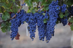 2011_11_15_2009_02_12_grapes_rsz