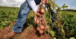 cultivarea-cartofilor-soiuri-de-cartofi-640x330