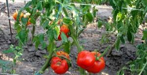 rosii-ecologice-640x330