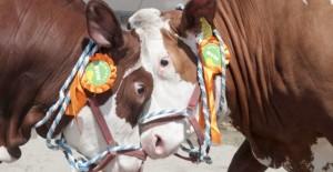 bovine-tauri-640x330