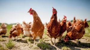 free-range-chicken